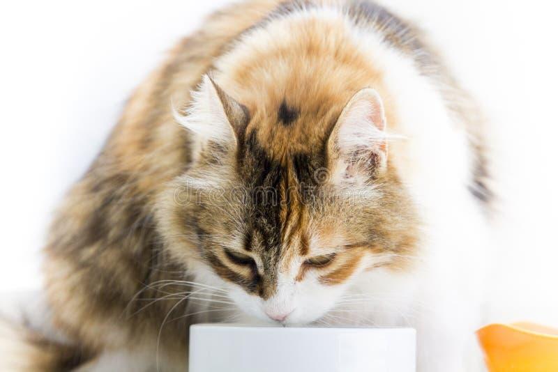 Gato de chita que come de uma bacia no fim dianteiro do perfil acima da imagem imagens de stock royalty free