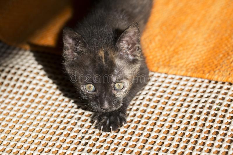 Gato de chita velho de poucas semanas, caça do gatinho imagem de stock royalty free