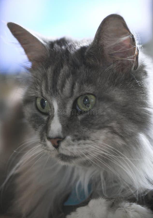 Gato de Coon de Maine fotos de stock