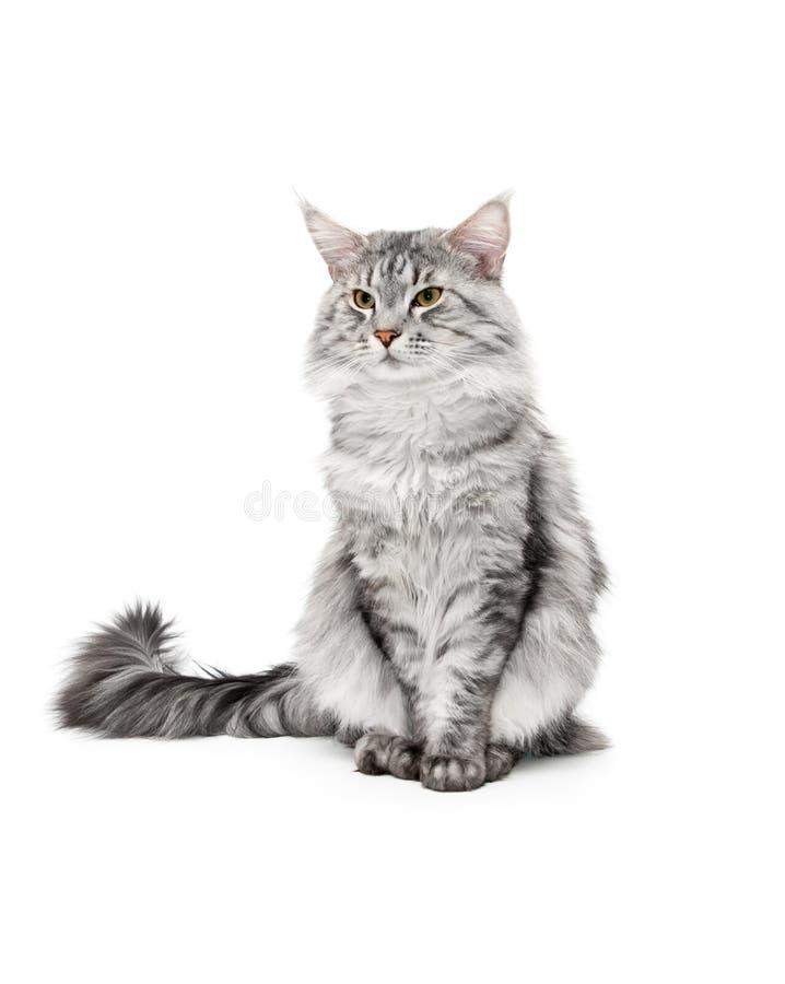 Gato de coon de Maine imagem de stock
