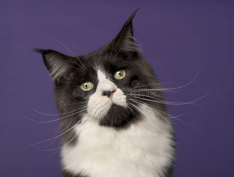 Gato de Coon de Maine, 15 meses imagen de archivo
