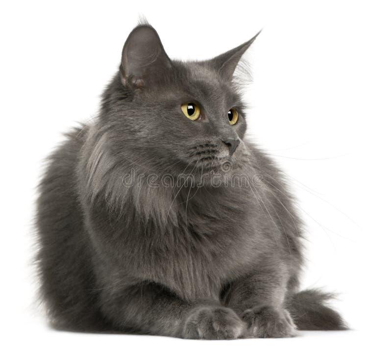 Gato de Coon de Maine, 3 anos velho imagem de stock royalty free