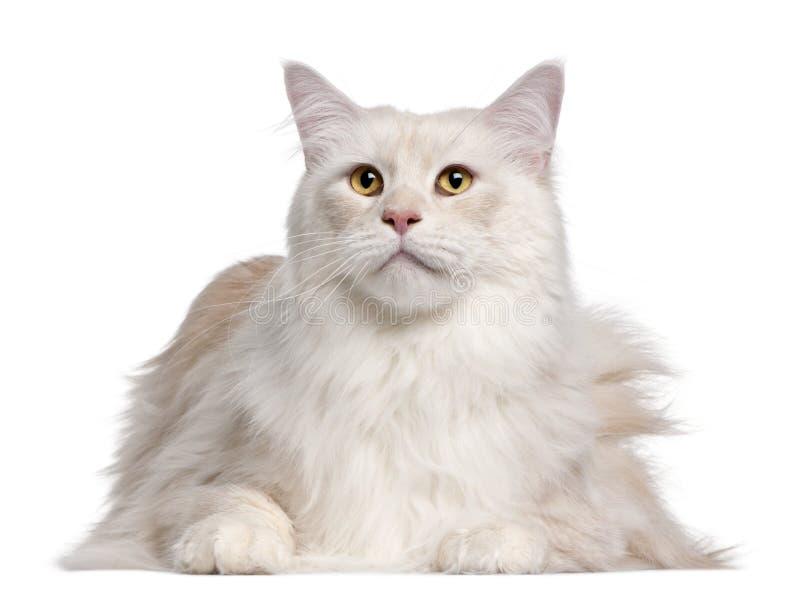 Gato de Coon de Maine, 3 anos velho imagem de stock