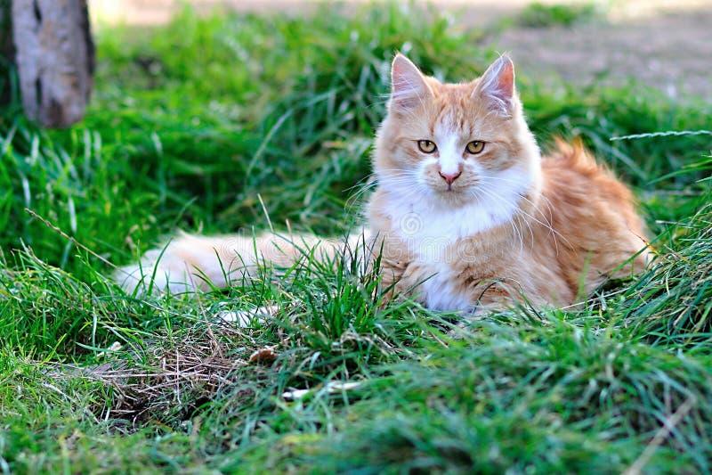 Gato de Coon de Maine imagen de archivo