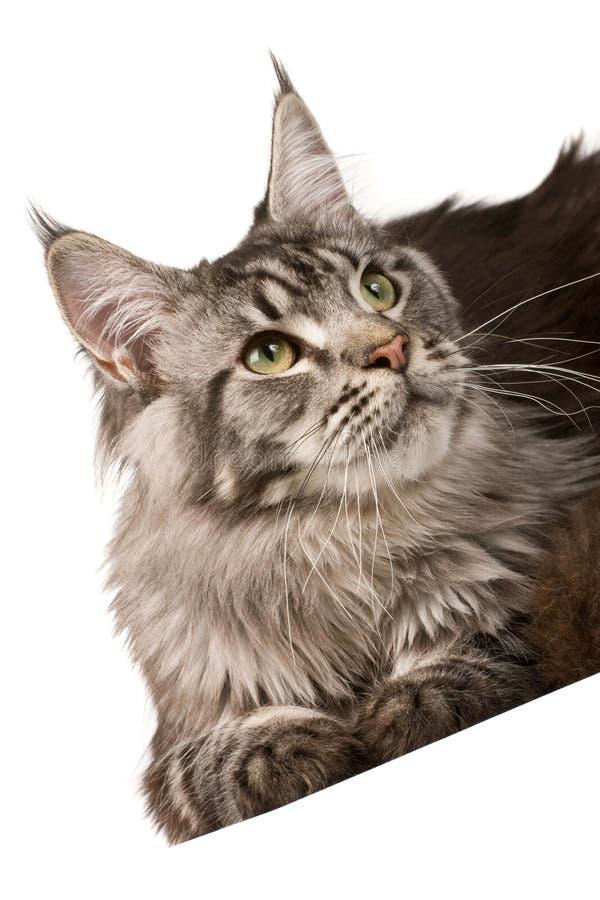 Gato de coon de Maine foto de archivo