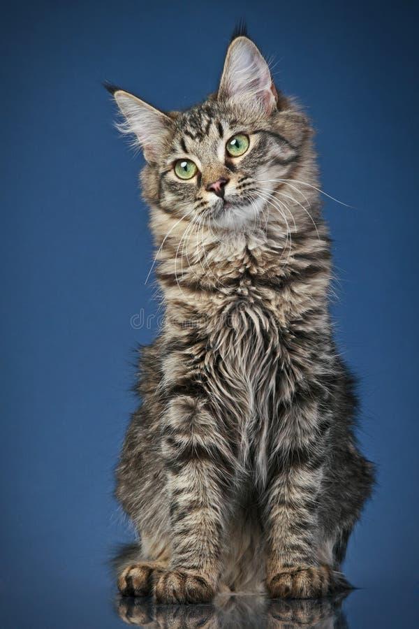 Gato de coon de Maine (6 meses) imagem de stock royalty free