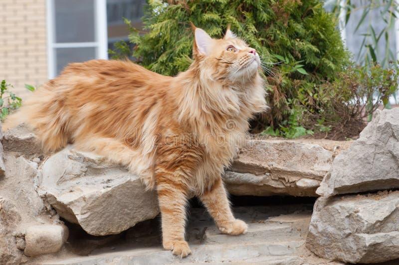 Gato de Coon de Maine que olha acima foto de stock