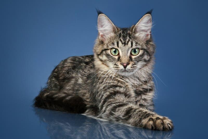 Gato de coon em uma obscuridade - fundo azul de Maine imagens de stock