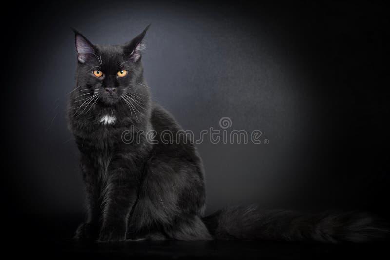 Gato de coon negro de Maine imagen de archivo libre de regalías