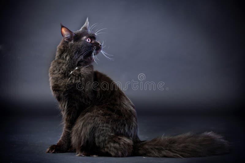 Gato de coon preto de maine foto de stock