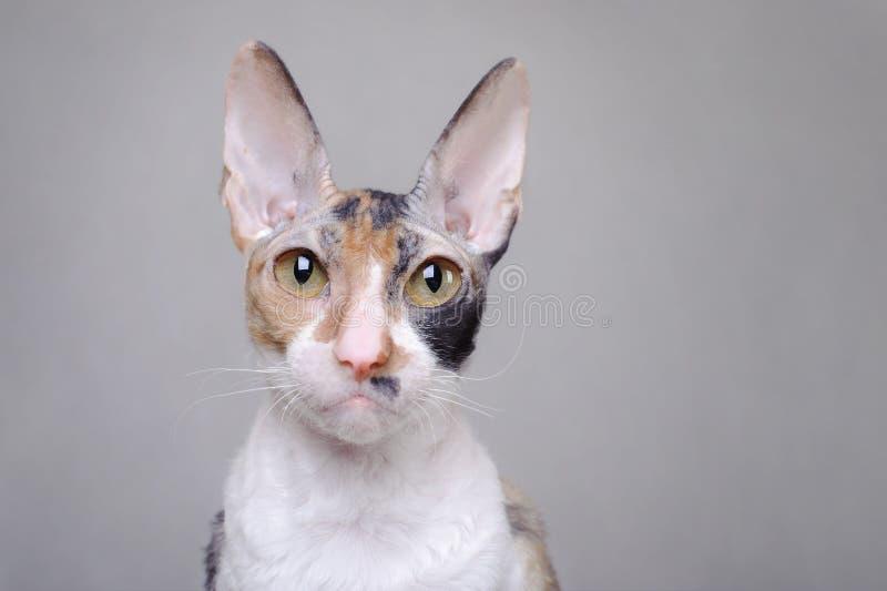 Gato de Cornualles de Rex foto de archivo libre de regalías