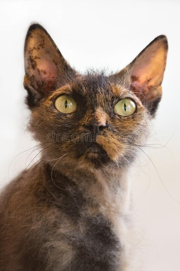 Gato de Cornualles de Rex de la raza curiosa del gato, primer imagen de archivo libre de regalías