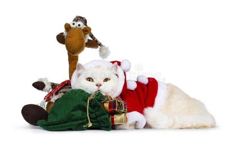 Gato de creme bonito de Britisch Shorthair do adulto vestido no terno de Santa, isolado no fundo branco imagem de stock royalty free