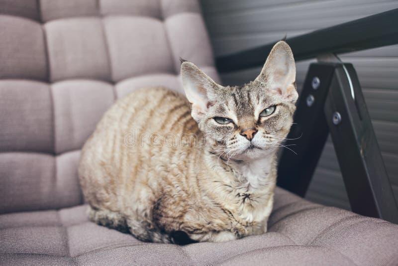 Gato de Devon Rex que se sienta en el balcón fotografía de archivo
