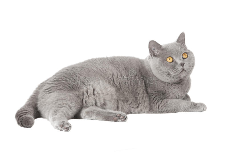 Gato de encontro cinzento fotografia de stock