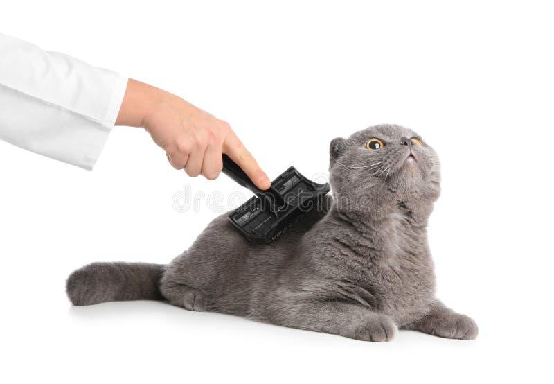 Gato de escovadela do groomer fêmea no fundo branco imagens de stock royalty free