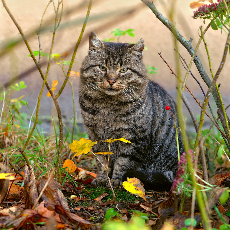 Gato de gato atigrado afuera fotos de archivo libres de regalías