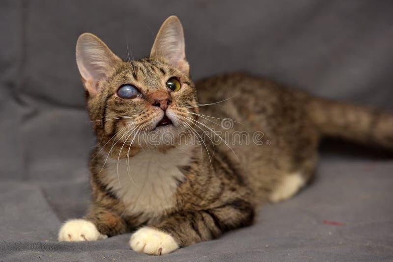 Gato de gato atigrado con las cataratas en el ojo imagen de archivo libre de regalías
