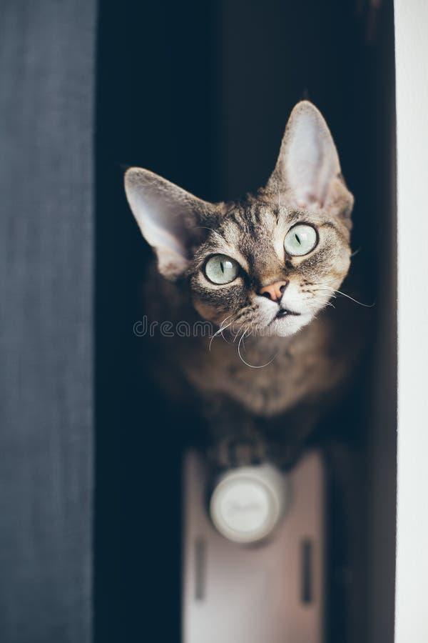 Gato de gato atigrado del rex de Devon que se sienta en el radiador fotos de archivo libres de regalías