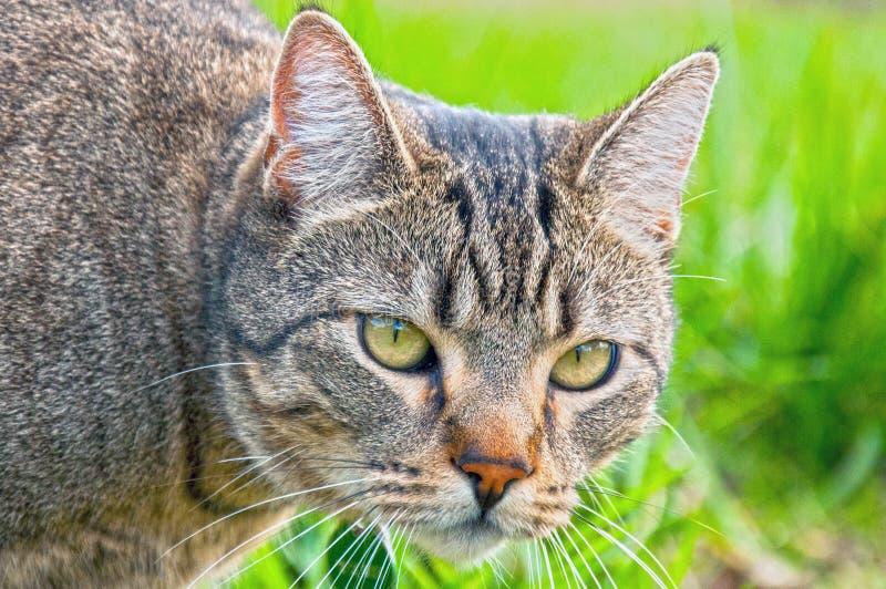 Gato de gato atigrado en vagabundeo fotos de archivo