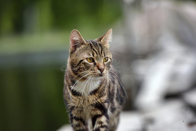 Gato de gato atigrado hermoso al aire libre fotografía de archivo libre de regalías