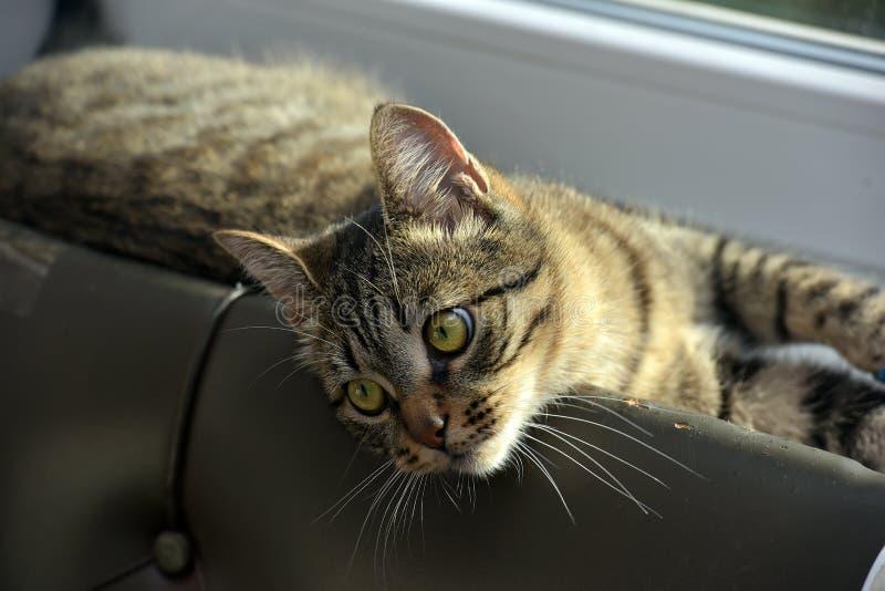 Gato de gato atigrado hermoso joven en casa fotografía de archivo libre de regalías