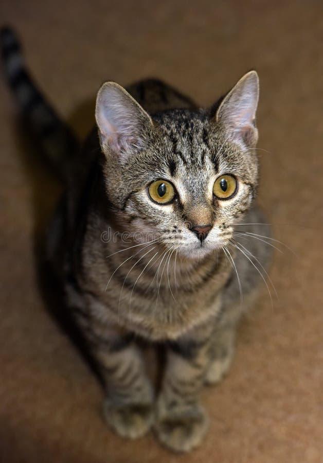 Gato de gato atigrado joven fotos de archivo