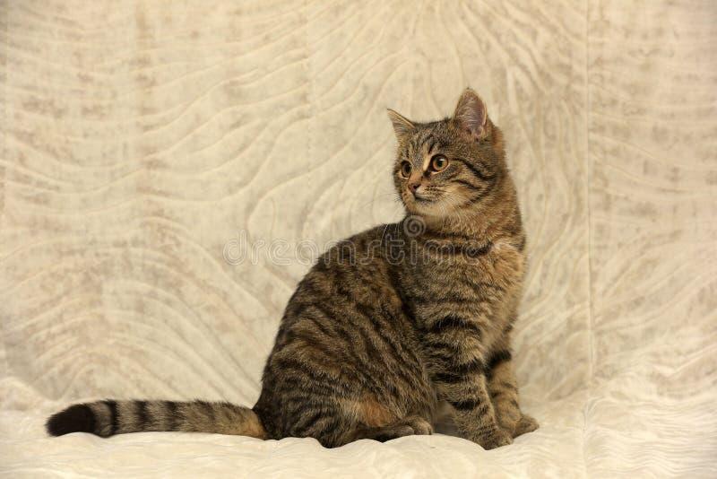 Gato de gato atigrado joven imágenes de archivo libres de regalías