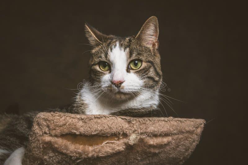 Gato de gato atigrado joven lindo con el pecho blanco que miente en el rasguño de los posts contra fondo oscuro de la tela fotografía de archivo