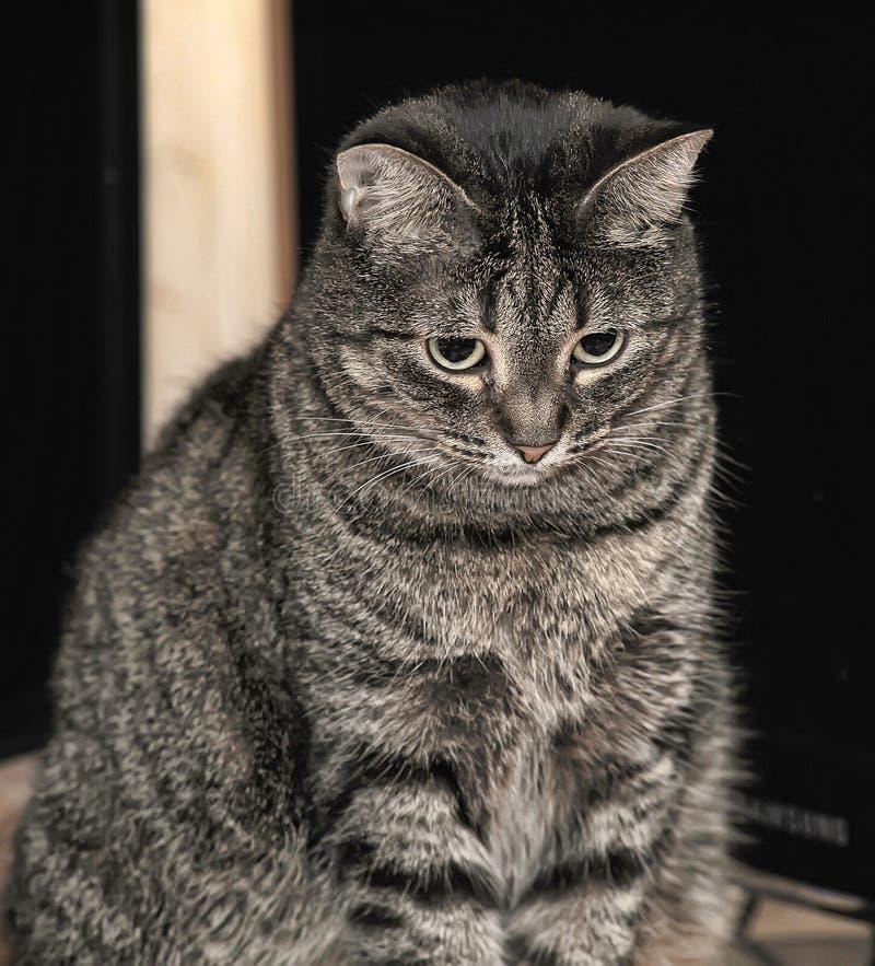 Gato de gato atigrado lindo fotos de archivo