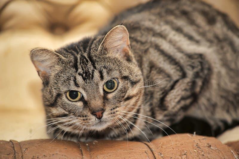 Gato de gato atigrado lindo imagen de archivo libre de regalías