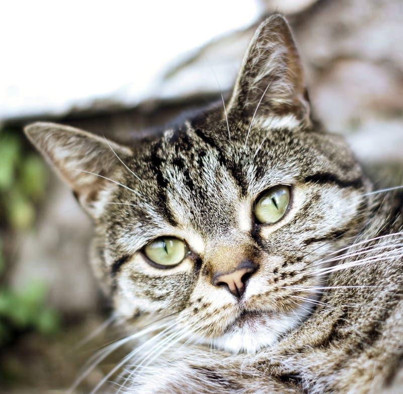 Gato de gato atigrado rechoncho de la nariz foto de archivo libre de regalías