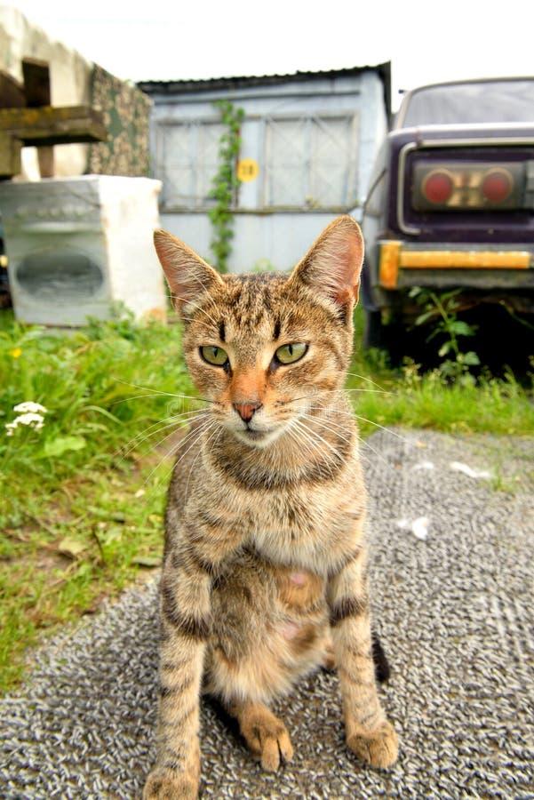 Gato de gato atigrado sin hogar fotografía de archivo libre de regalías