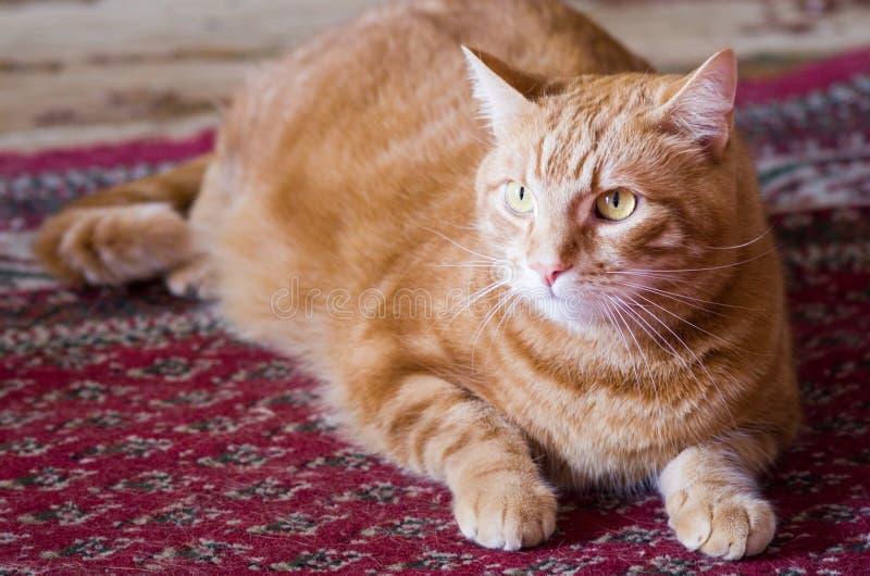 Gato de gato malhado alaranjado foto de stock royalty free