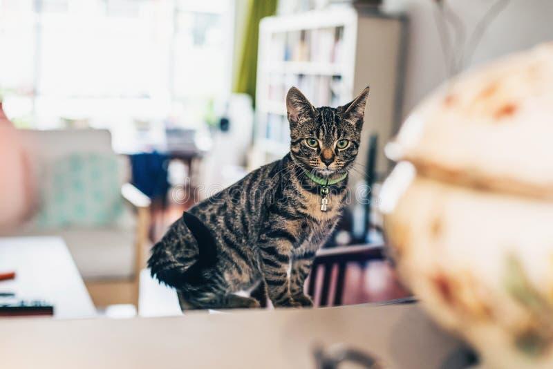 Gato de gato malhado cinzento curioso que senta-se dentro em casa fotografia de stock