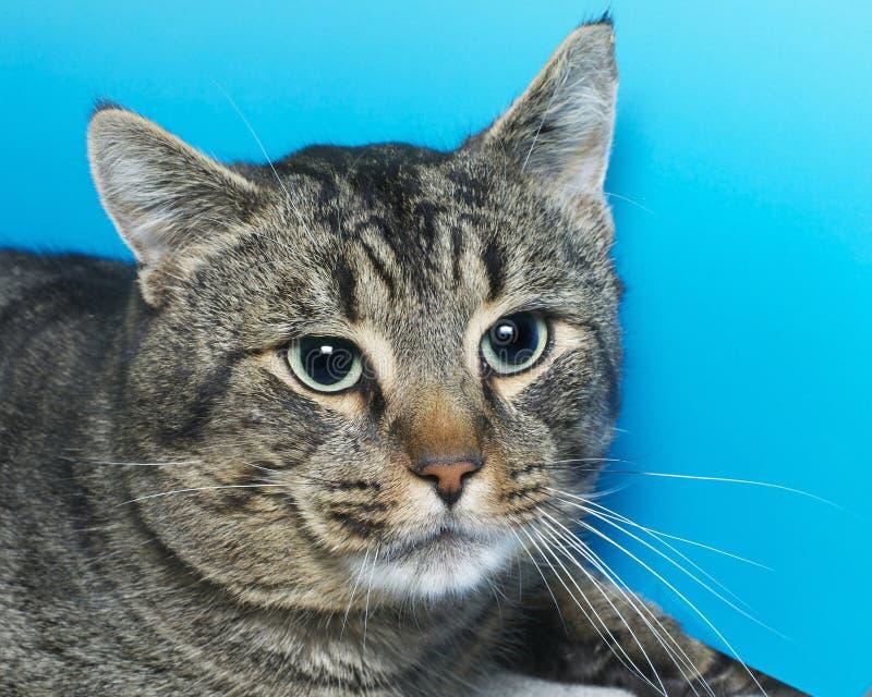 Gato de gato malhado cinzento e branco com olhos verdes, retrato fotos de stock royalty free