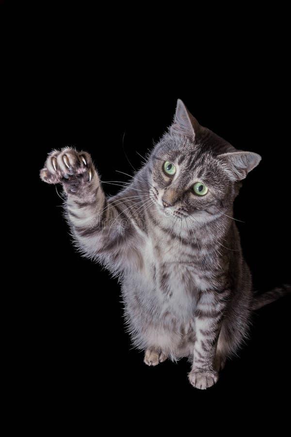 Gato de gato malhado cinzento que estica para fora sua pata imagem de stock royalty free