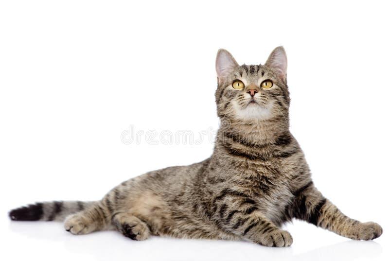 Gato de gato malhado cinzento que olha acima Isolado no fundo branco imagem de stock royalty free