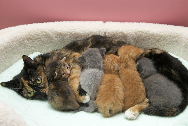 Gato de gato malhado de Tortie da mãe que nutre cinco bebês imagens de stock royalty free