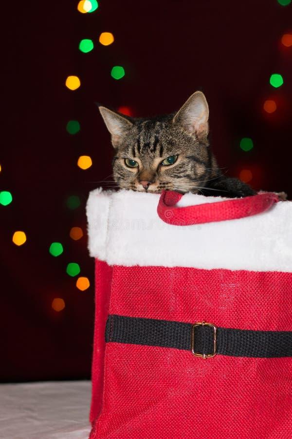 Gato de gato malhado dentro de uma caixa do presente de Natal fotografia de stock royalty free