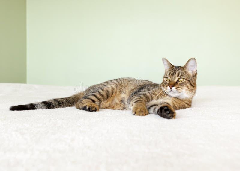 Gato de gato malhado pequeno foto de stock