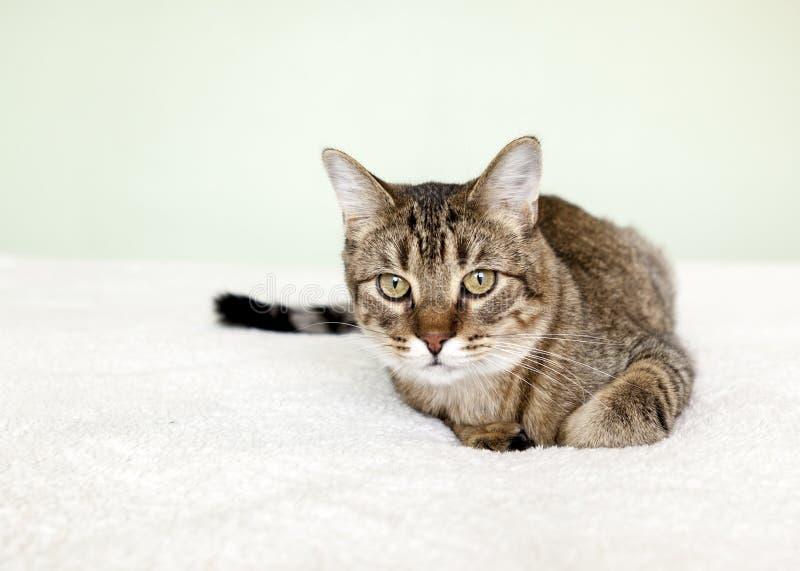Gato de gato malhado pequeno fotos de stock