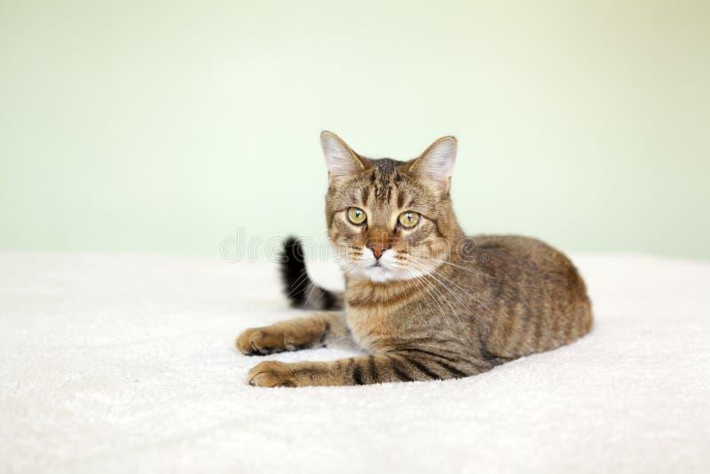 Gato de gato malhado pequeno fotografia de stock