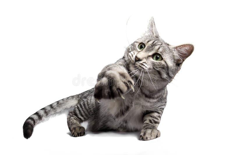 Gato de gato malhado que alcança para fora a pata fotografia de stock
