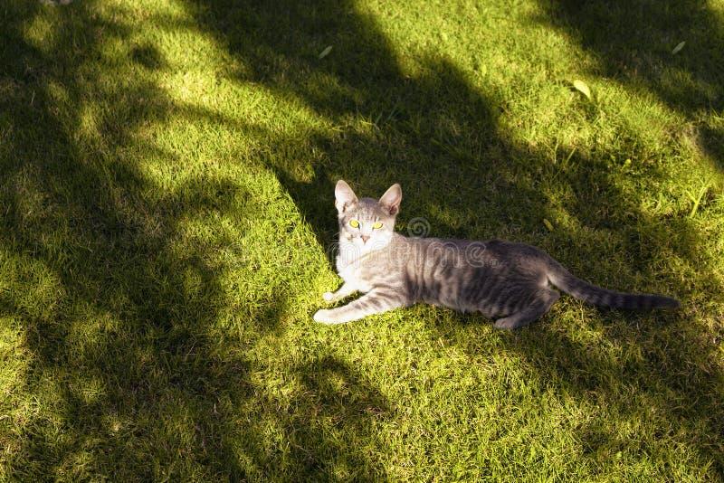 Gato de gato malhado que encontra-se no campo de grama foto de stock