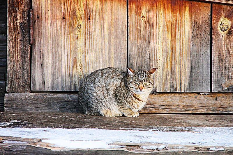 Gato de gato malhado Siberian no fundo da casa de madeira da vila foto de stock