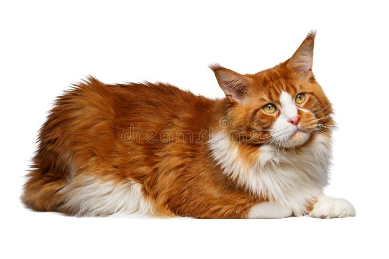 Gato de Ginger Maine Coon aislado en blanco fotos de archivo