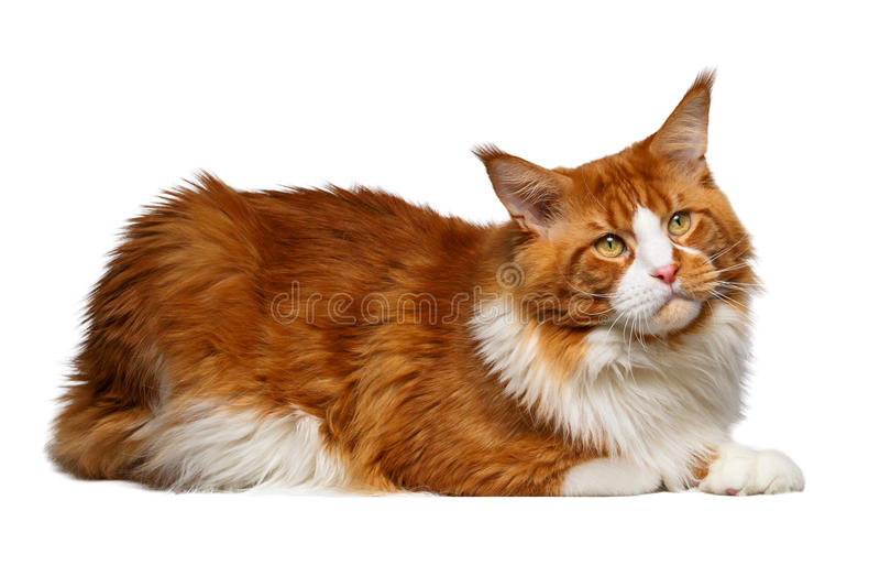 Gato de Ginger Maine Coon isolado no branco fotos de stock