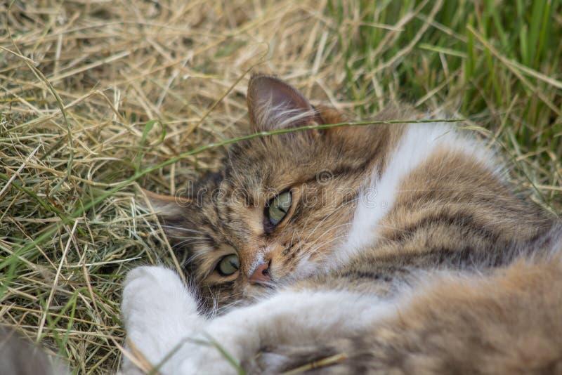 Gato de gramas cortadas no prado foto de stock royalty free