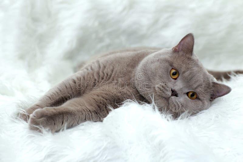 Gato de Gray British en un fondo blanco imagenes de archivo